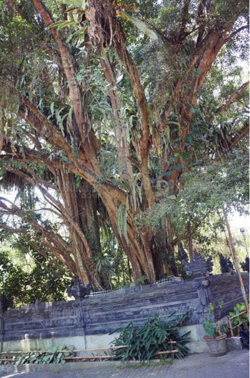 圣泉寺的神树