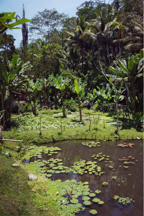 寺庙旁的蕉林和莲池