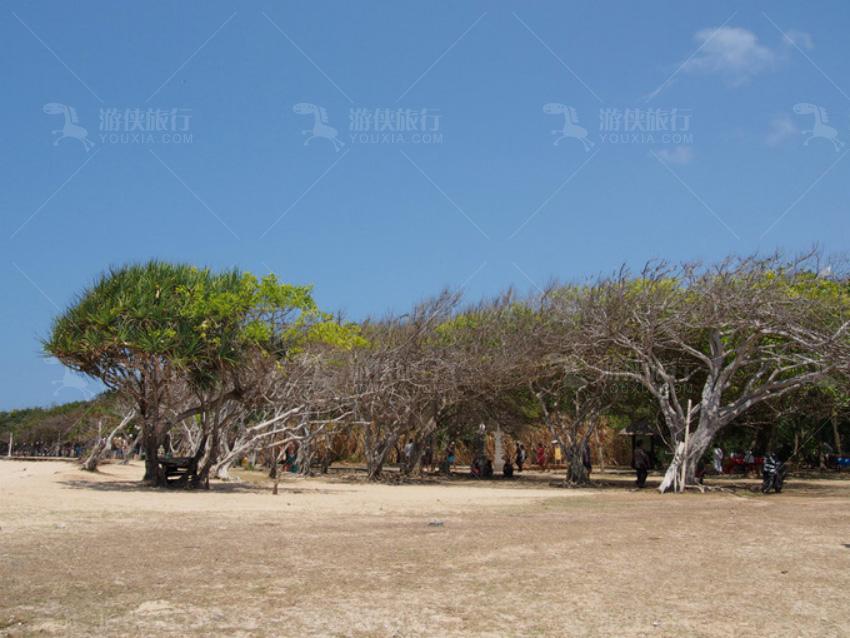常年的海风把树吹成这样