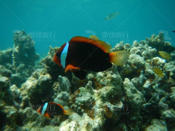 小丑鱼-尼莫