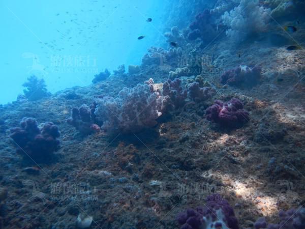 七彩软珊瑚