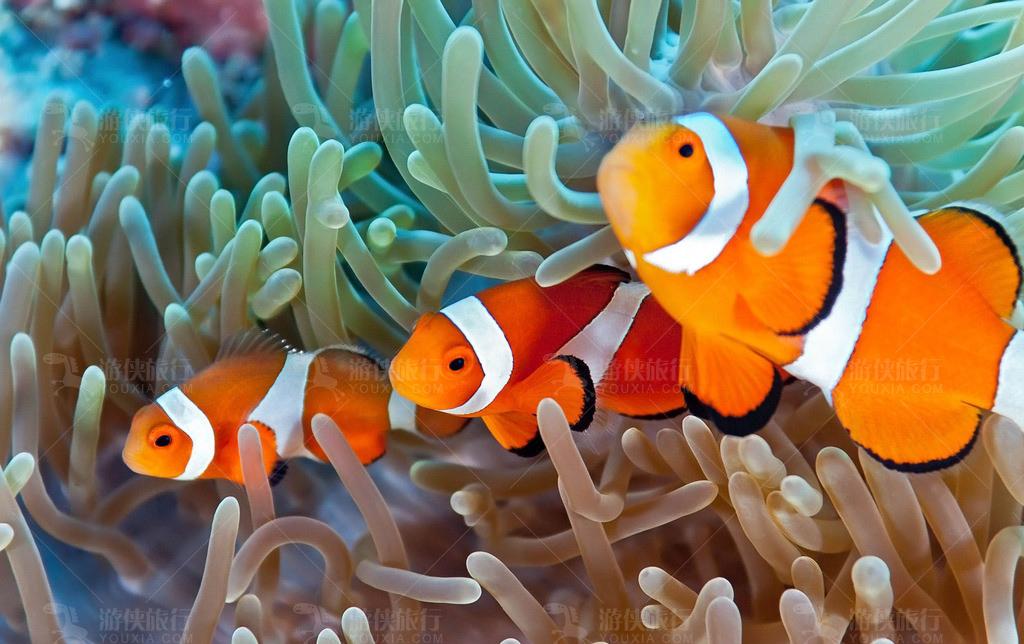 马尔代夫小丑鱼