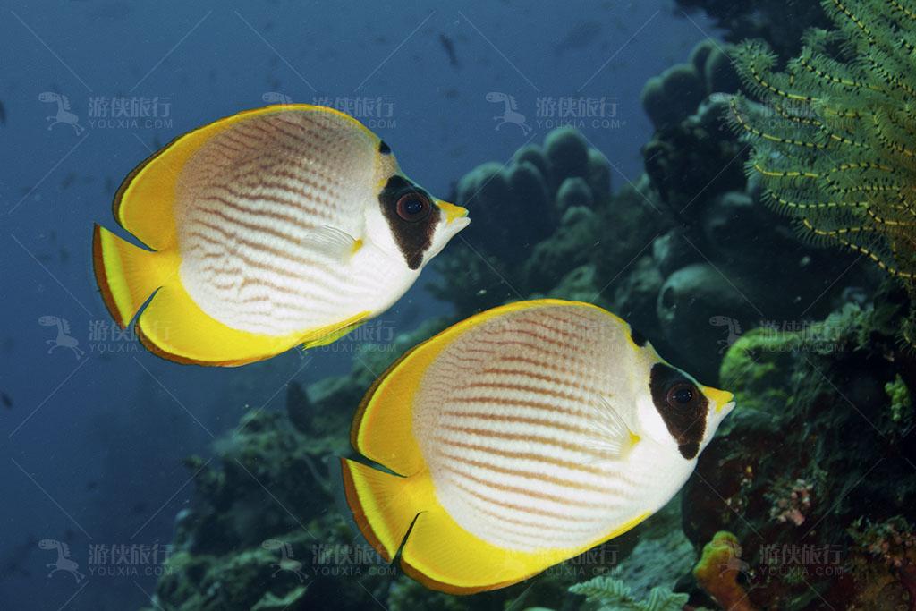 海中鸳鸯蝴蝶鱼