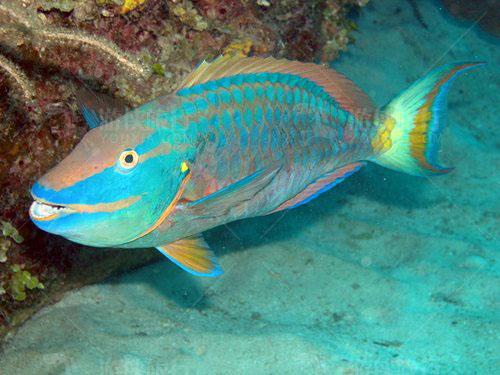 马尔代夫鹦鹉鱼