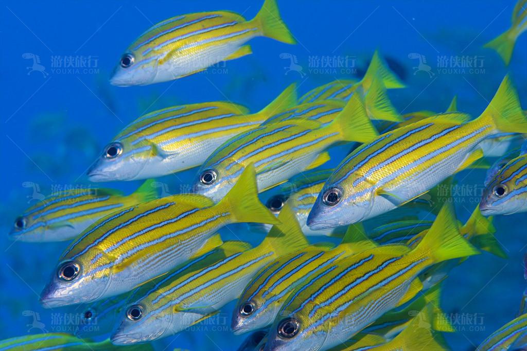 马尔代夫常见的鲷鱼