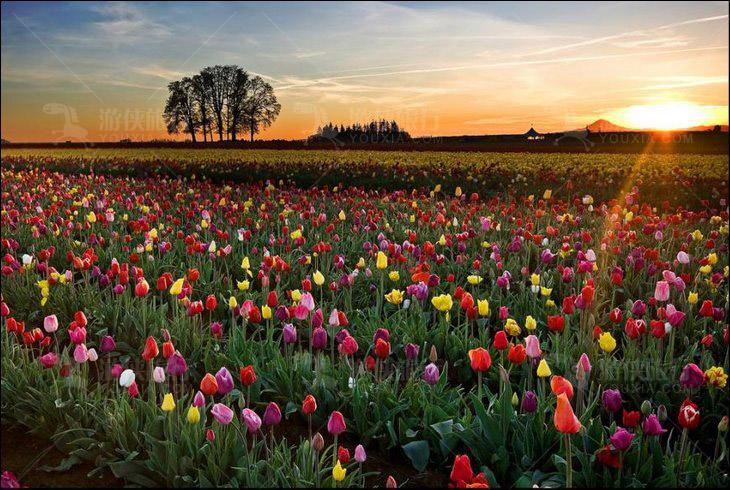荷兰的郁金香花田