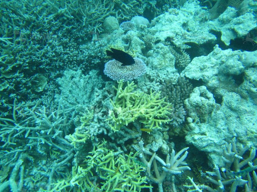蓝色珊瑚和鹿角珊瑚