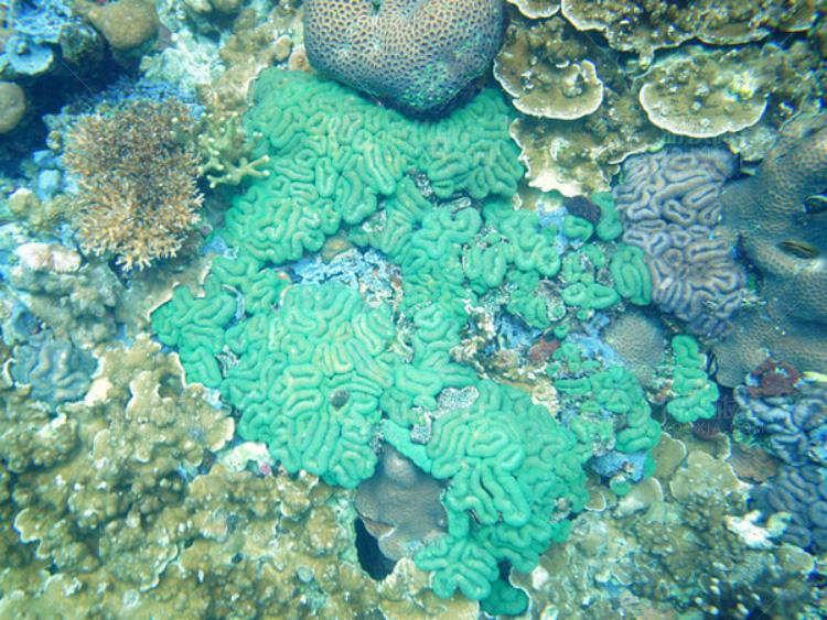 瓣叶形脑珊瑚