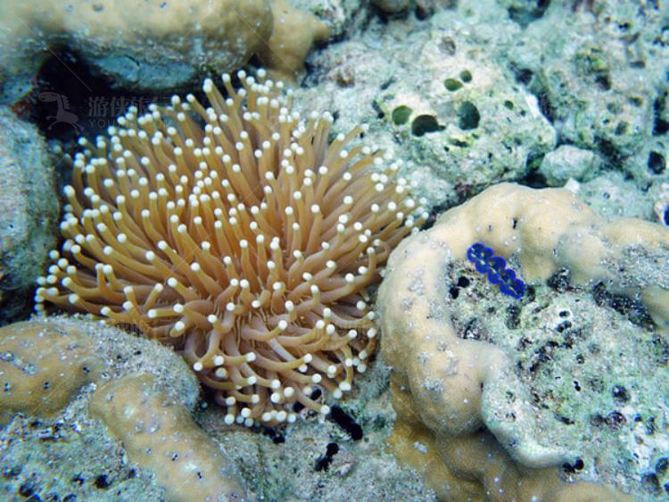 火炬花珊瑚