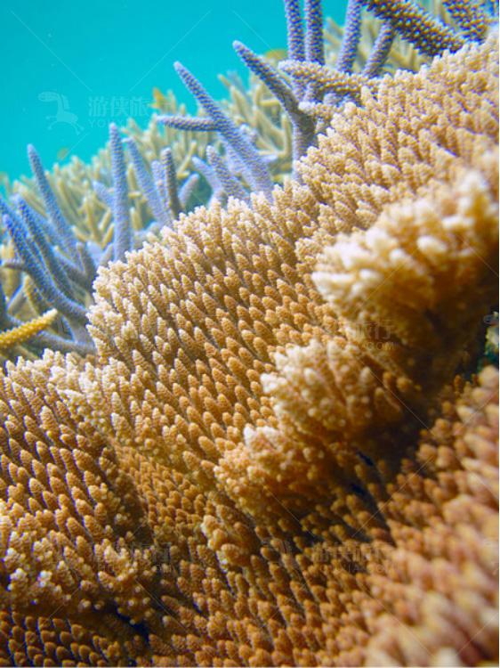 小水螅体硬珊瑚