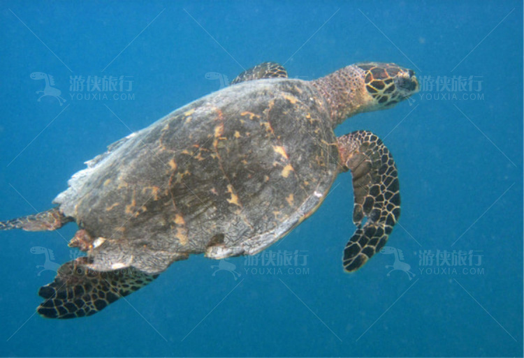 海龟水中游
