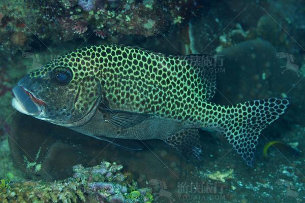 马代石斑鱼