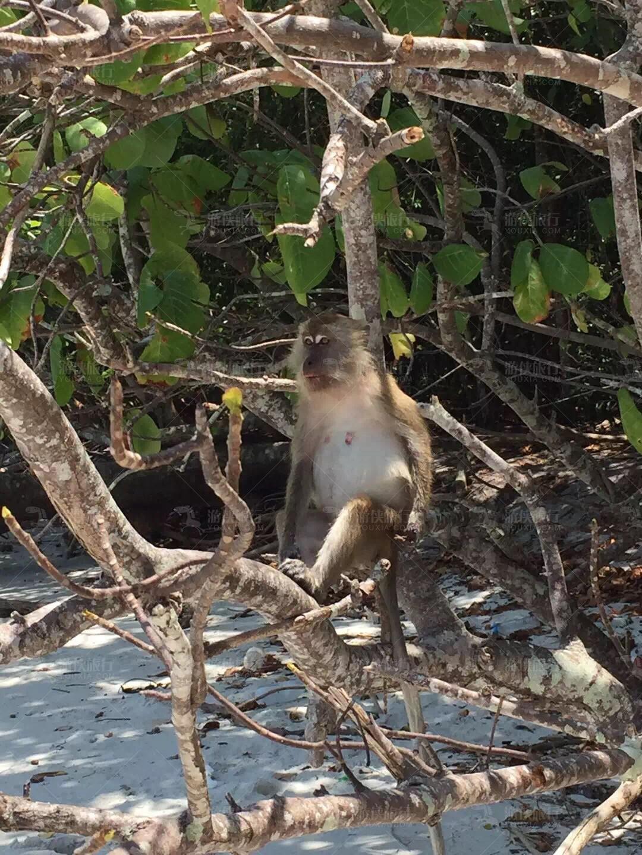 泰国丽贝岛野猴