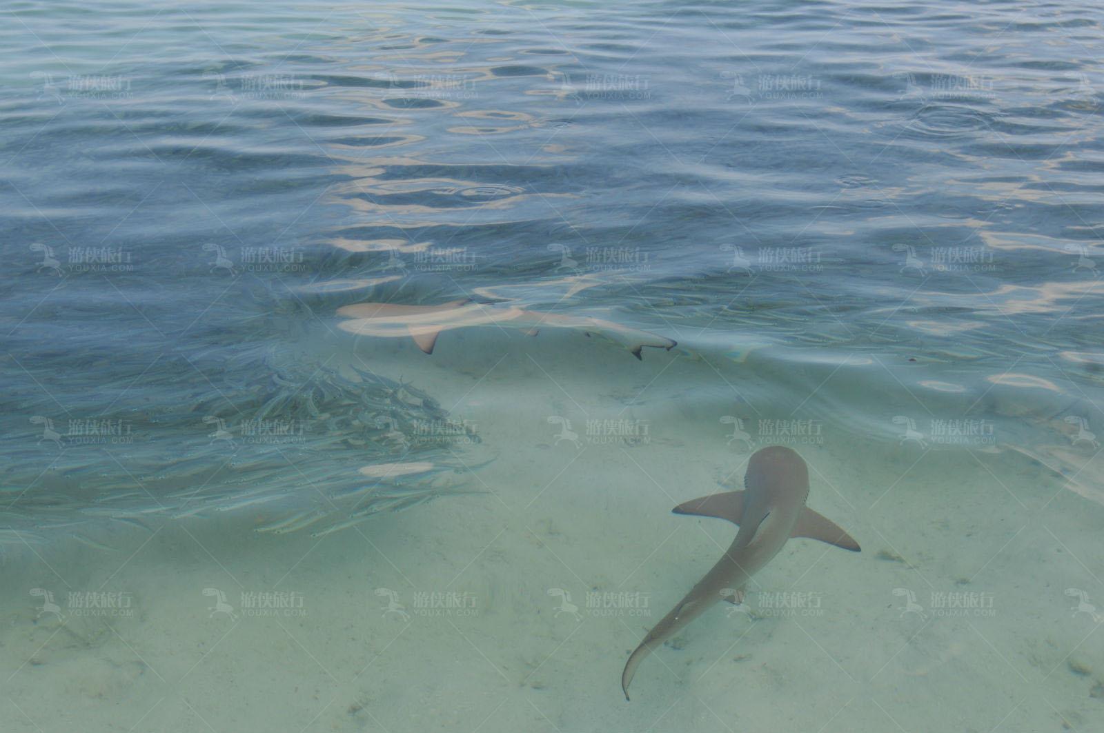 马代柠檬鲨
